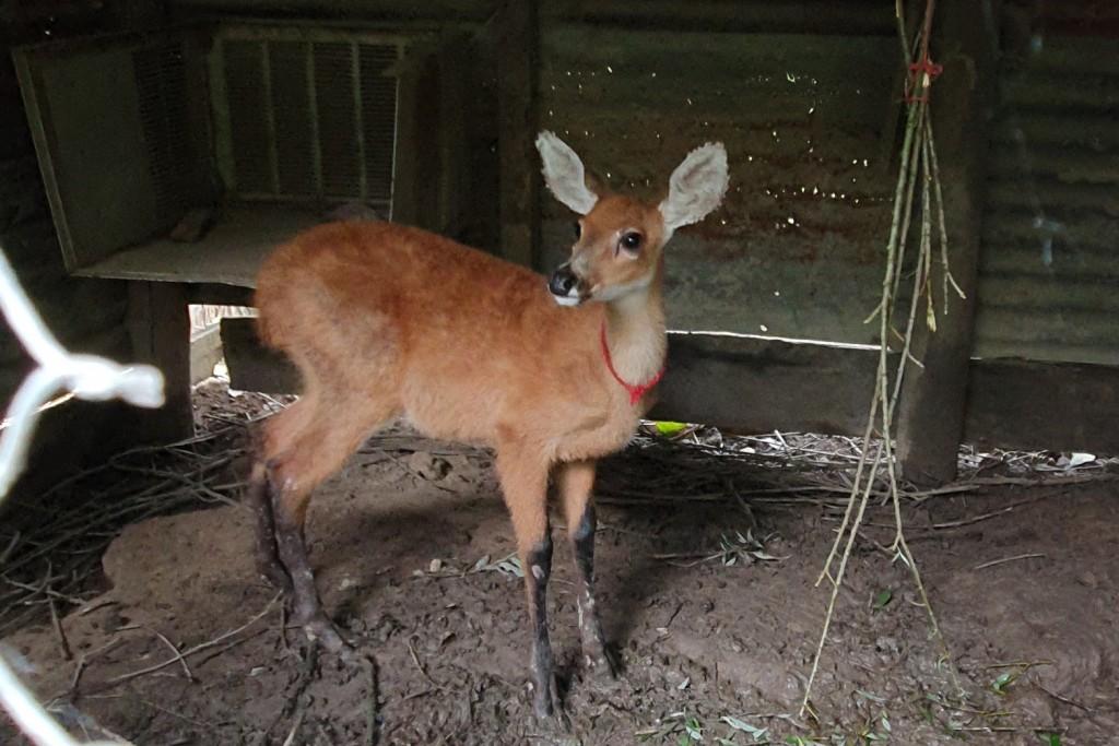 El Municipio de San Fernando rescató una cría de Ciervo de los Pantanos junto a la Fundación Temaikèn