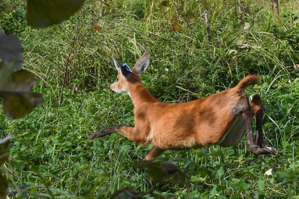 Juan Andreotti participó de la liberación de una cría de Ciervo de los Pantanos que fue recuperada en el Delta