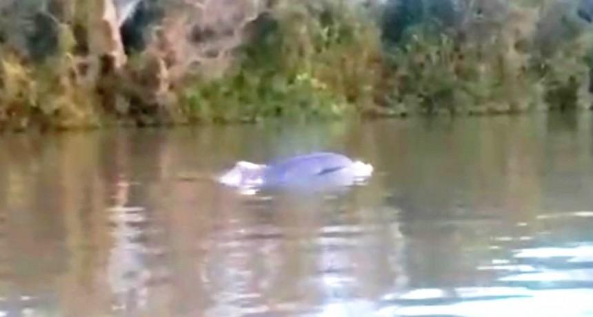 Apareció un delfín en el Delta de San Fernando, y el Municipio colabora en su búsqueda