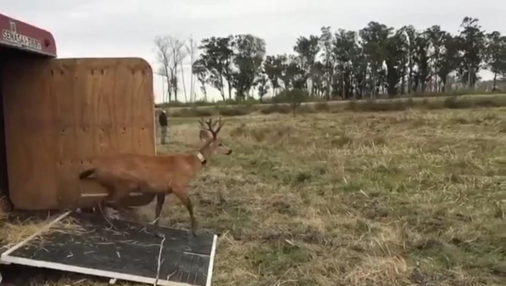 Se liberó un ciervo de los pantanos rescatado en el Delta